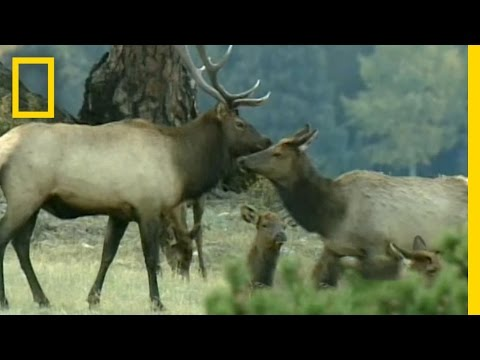 Bugling Elk Video