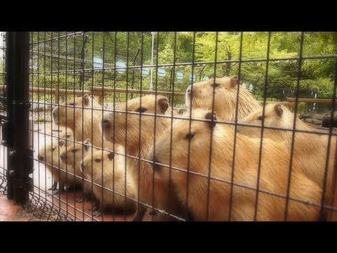 せっかくのフォーメーションを盛大に崩すカピバラお父さん Capybara