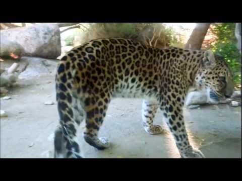 Leopard Steps on Something Sharp, Hurts Paw in The Living Desert