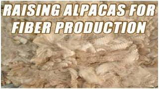 Raising Alpacas For Fiber Production