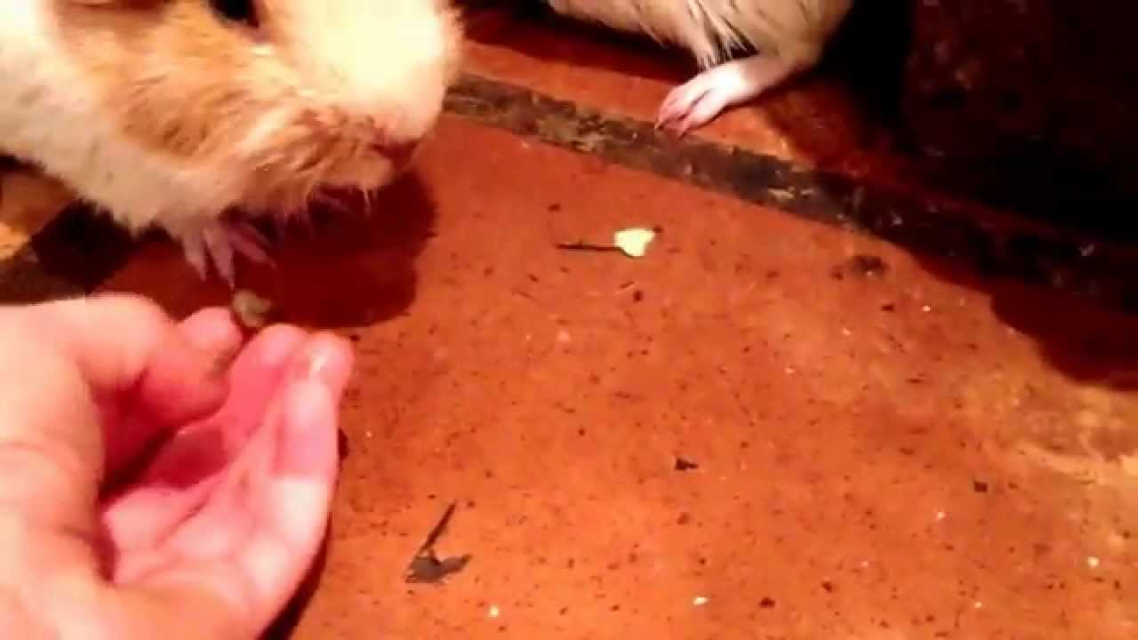 Better ways to feed a guinea pig youtube