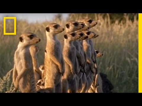 Meerkats vs. Puff Adder