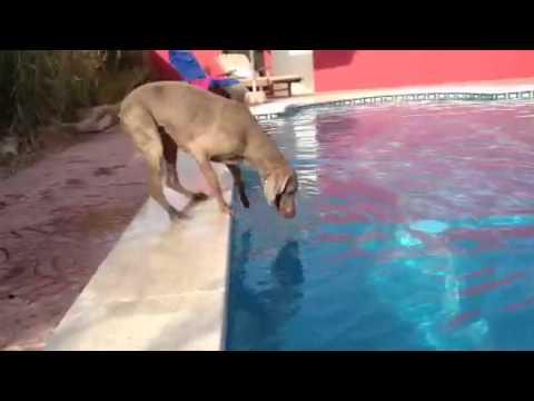 プールに浮かぶフリスビーをプールに入らずになんとか取りたい!!と頑張る犬