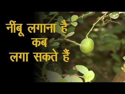 Nimbu Ki Kheti Ka Sahi Samay Green TV