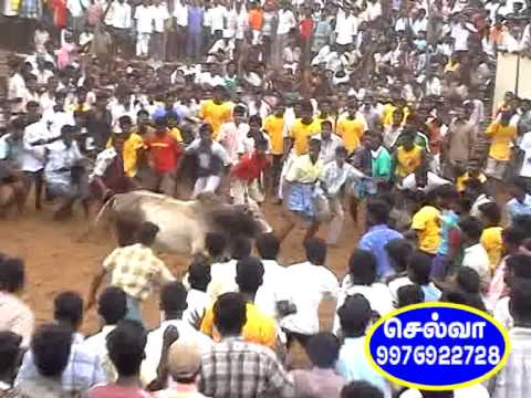 Jallikattu P R China Appu ( Trichy Stadium ) video