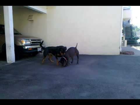 Pit vs. Rottweiler --- BAD @$$ play fight. Video