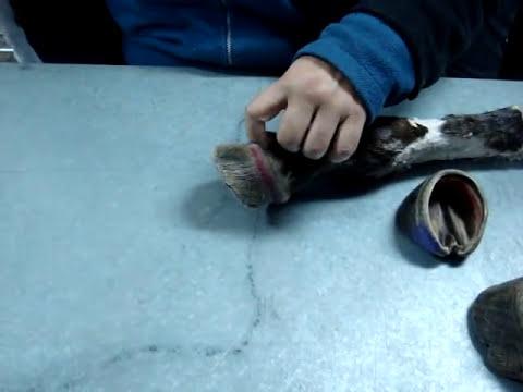 Anatomía veterinaria: casco equino