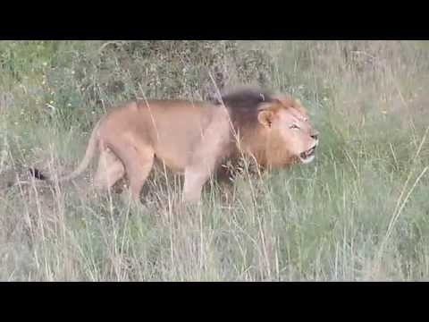 Lion Roaring Nnp By Jake Grieves-cook video