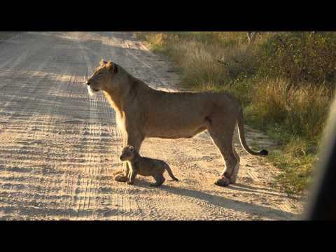 Lion Mother with Lion Cub
