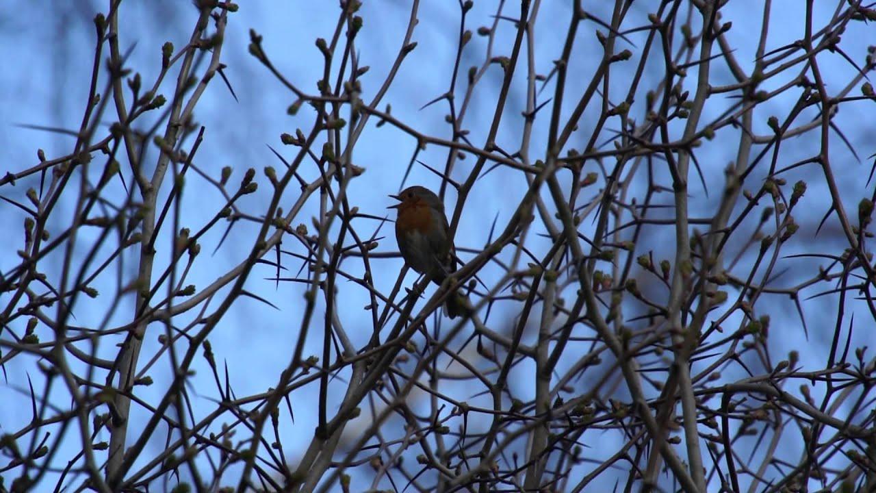 Послушать голоса птиц 26 фотография