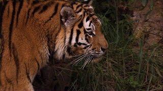 Serial Killer Tiger At Large in Northern India