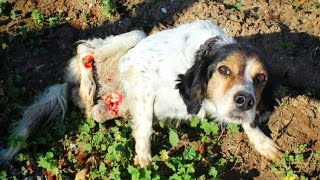 Amazing dog crawled for a week over rocks and stones in search of help. COMPLETE STORY !