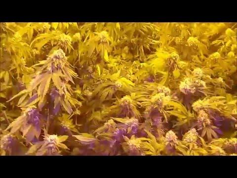 Growing Medical Marijuana with aquaponics for my self 02