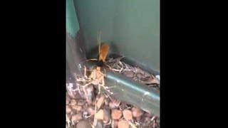 Tarantula vs Hornet