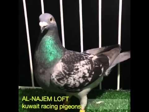 احمد الناجم / الكويت زاجل kuwait racing pigeons