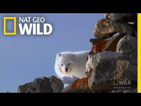 The Ice Bear and the Arctic Fox
