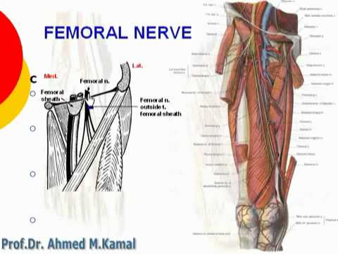53 l limb femoral nerve د أحمد كمال cxt - youtube, Muscles