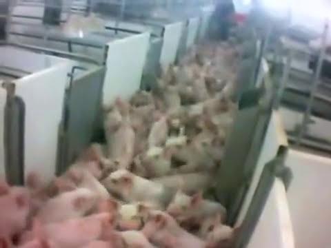 Recorrido por un matadero de cerdos.