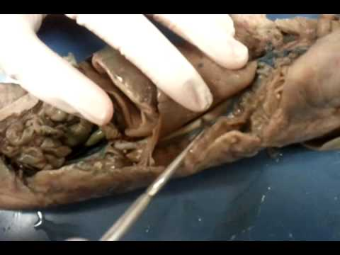 Fetal Pig Dissection with Photos Developed by Dr. Mark Stanback ...
