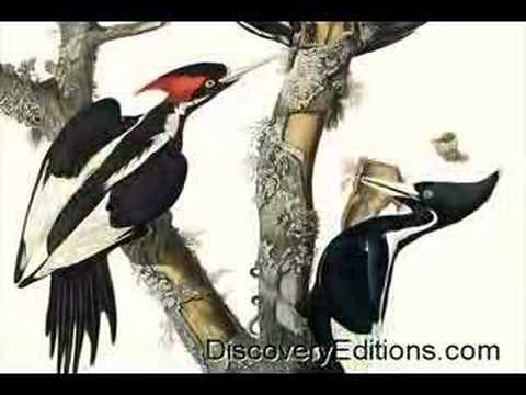 IVORY-BILLED WOODPECKER SIGHTED IN SINGER TRACT