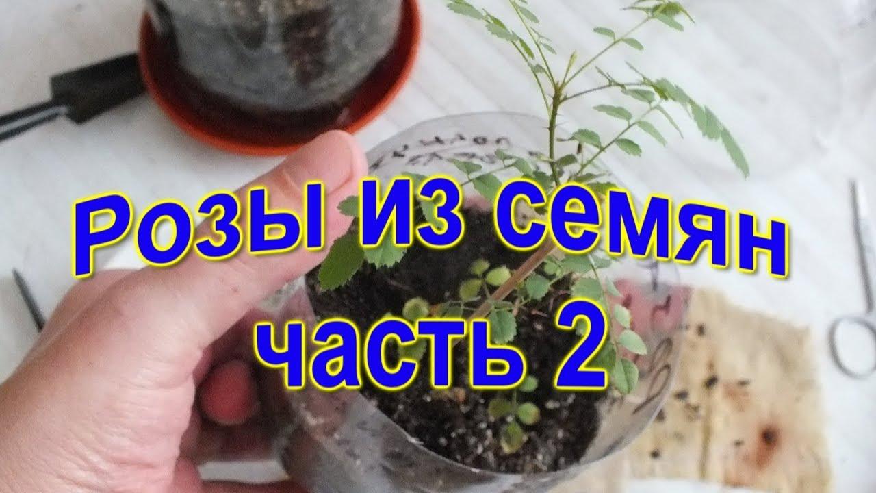 Как сажать розы семенами от алиэкспресс 944