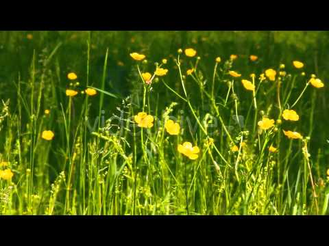 Stock Footage - Buttercup Flowers In Nature | VideoHive