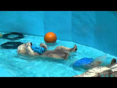 浅いプールで遊ぶホッキョクグマの親子 PolarBear 円山動物園