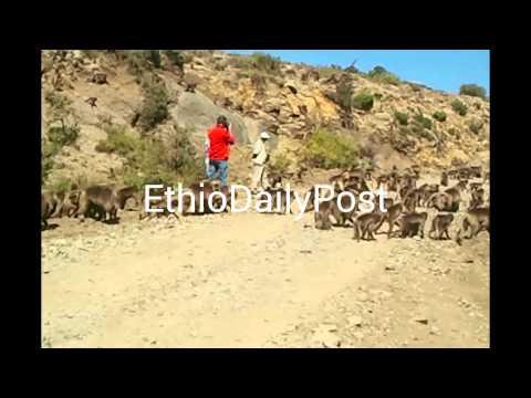 Gelada Baboon Ethiopia