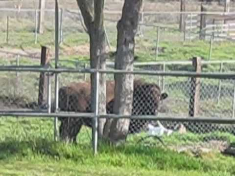 Bison Grabs Woman
