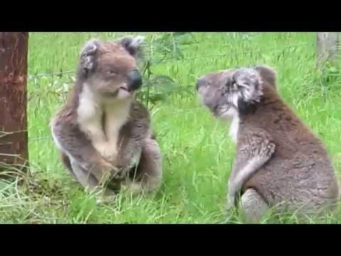Koalas fighting