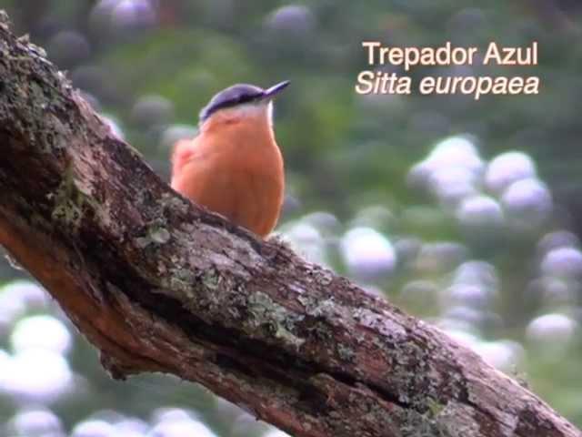 Ejemplos de cantos y reclamos de aves
