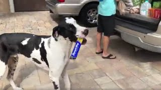 Great Dane in training works on delivering cat treats