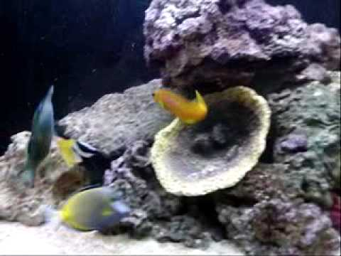 marine fish tank tang wrasse fox face midas blenny clown fish Video