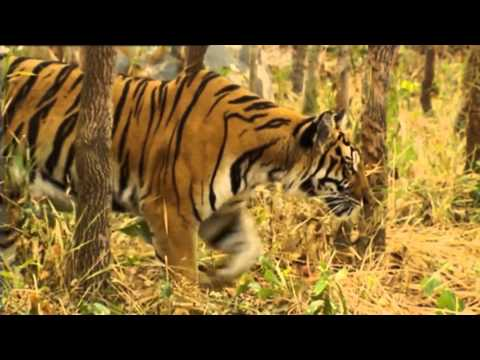Cambodian Tigers | Storyteller Media