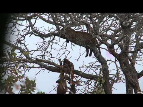 Dallas Safari Club's Tracks Across Africa - Checkmate Chui Style