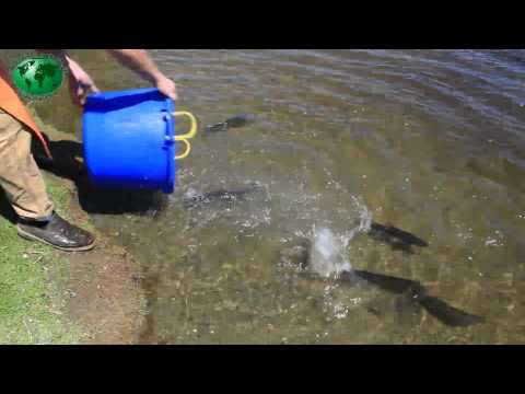 Stocking fish for the derby during the Thurston County Amateur BBQ and Music ...