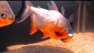 VICIOUS Piranha Attacks my PRIZED FISH! *Tank Accident*