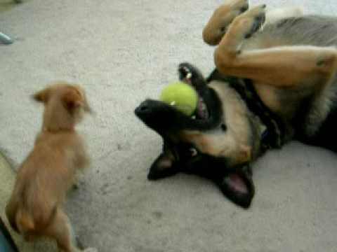 Puppy Owns German Shepherd Video
