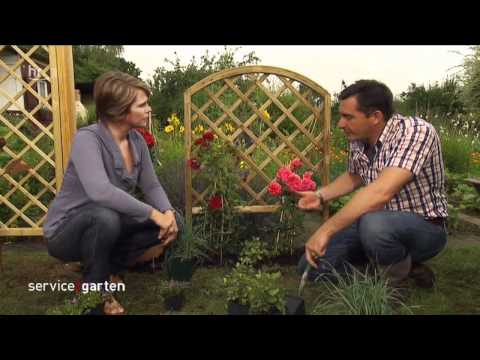 Gartenliebling Rosen! - service:garten - hr-fernsehen