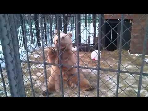 Сибирский  Кунг-Фу Панда Siberian Kung Fu bear