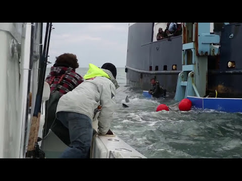 Tagging A 2,000-Pound Great White Shark | Video