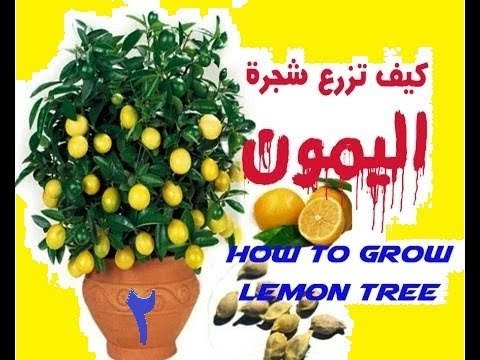 زراعة اليمون من البذور  Lemonالجزء الثانى thumbnail