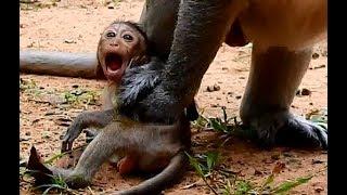 WOW Achep !! Brutus Jr silent cry under legs Achep do soo bad on baby Polly.