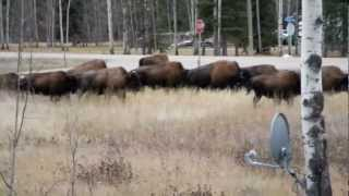 Buffalo on the lawn Zama City Alberta