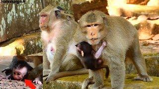 God help! New King AChap hit newborn baby monkey Aiden nearly die, Samnnang kh