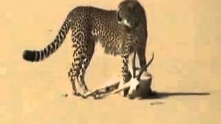 A Man Keeps Cheetah As Pet To Hunt Deer / صائد يستعين بفهد في صيده للغزلان