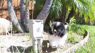"""Shasta"" Female AKC Pomerania Puppy For Sale in San Diego!!!"