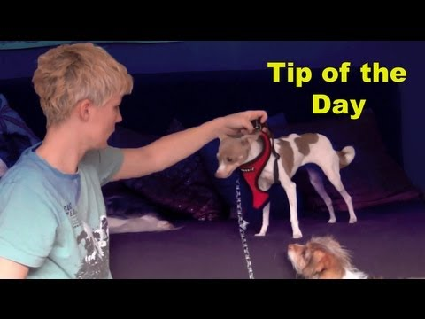 Tip of the day- toy dogs and harnesses- clicker dog training