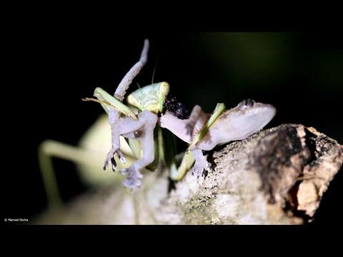 Praying Mantis eats a still living lizard