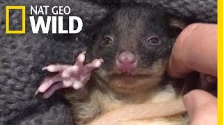 This Rescued Baby Possum Loves to Snuggle | Nat Geo Wild
